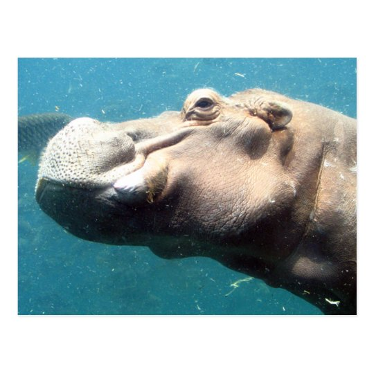 The Hippo post card
