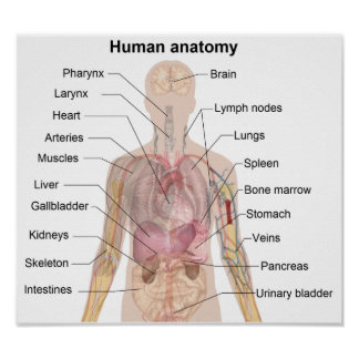 The Human Anatomy Poster