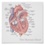 The Human Heart Poster