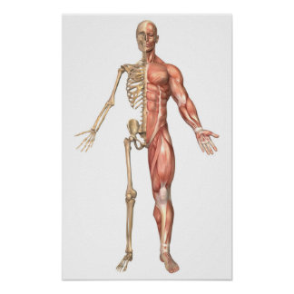 The Human Skeleton And Muscular System, Front Poster