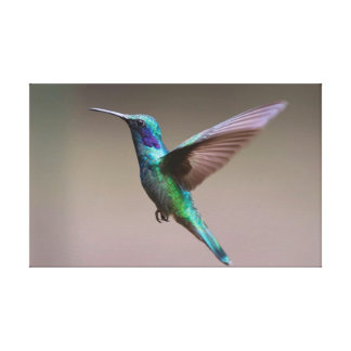 The Hummingbird. Canvas Print