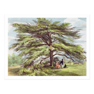 The Lebanon Cedar Tree in the Arboretum Kew Garde Post Card