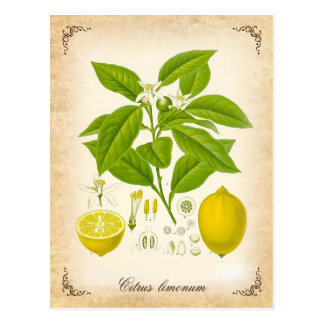 The lemon - vintage illustration postcard
