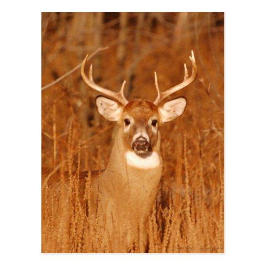 The Long Neck of Old Mule Deer Buck Postcard