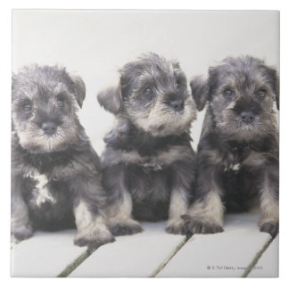 The Miniature Schnauzer is a breed of small dog Large Square Tile