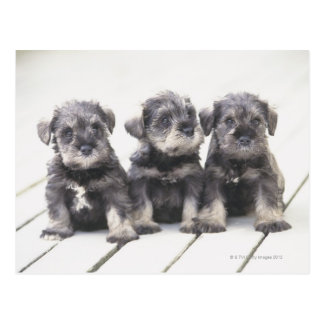 The Miniature Schnauzer is a breed of small dog Postcard
