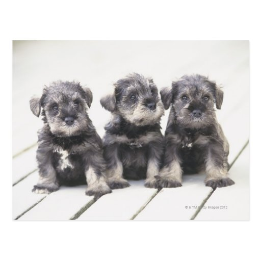 The Miniature Schnauzer is a breed of small dog Postcards