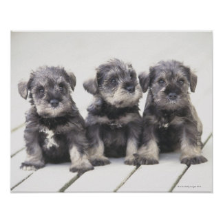The Miniature Schnauzer is a breed of small dog Poster