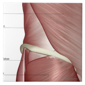 The muscles of the lower body tile
