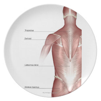 The muscles of the upper body plate