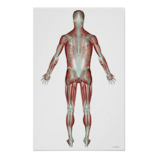 The Musculoskeletal System 12 Poster