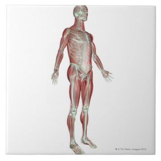 The Musculoskeletal System 8 Tile
