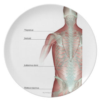 The musculoskeleton of the upper body plate