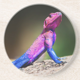 The Mwanza Flat-headed Agama on rock Coaster