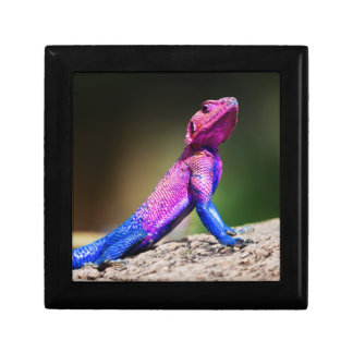 The Mwanza Flat-headed Agama on rock Gift Box
