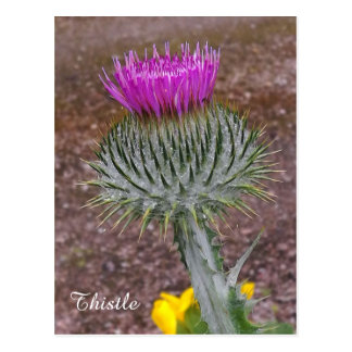 The National Flower of Scotland. Postcard
