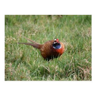 The Noisy Pheasant Postcard