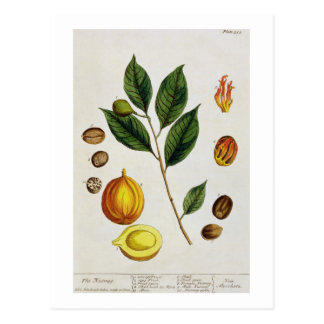 The Nutmeg, plate 353 from 'A Curious Herbal', pub Postcard
