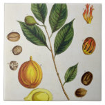 The Nutmeg, plate 353 from 'A Curious Herbal', pub Ceramic Tile