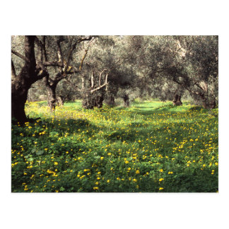 The olive grove postcard