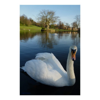 The Paisley Garden Swan In A Pond Poster