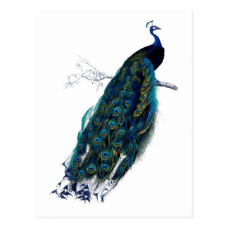 The Peacock Collection Postcard