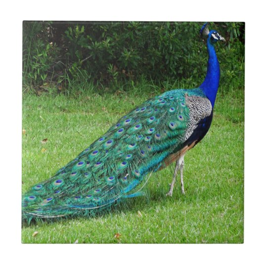 The Peacock Dance Small Square Tile