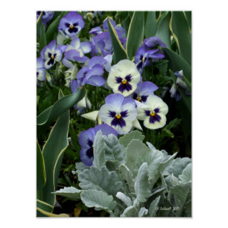 The Perfect Pansy Poster