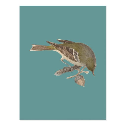 The Pine Warbler (Sylvicola pinus)