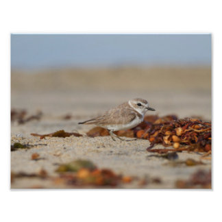 The Plover and the seaweed Photographic Print