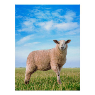 The pretty sheep poster