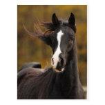 The proud Stallion Postcard