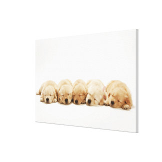 The puppies of the golden retriever canvas prints