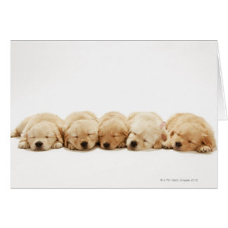 The puppies of the golden retriever card