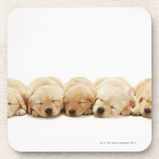 The puppies of the golden retriever drink coasters