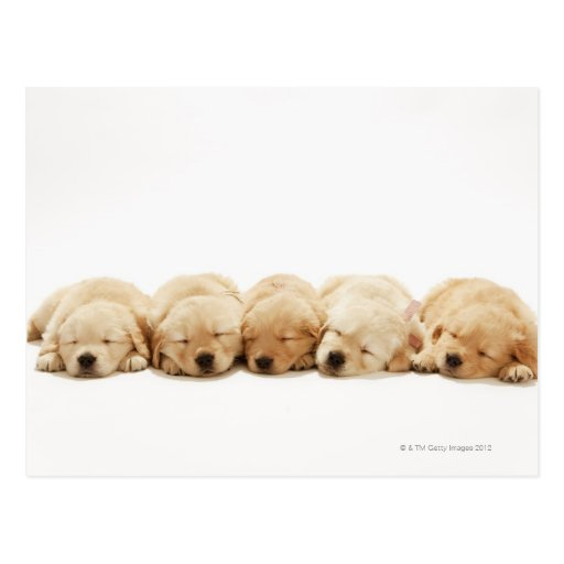 The puppies of the golden retriever post cards