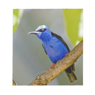 The Purple Honeycreeper, Cyanerpes caeruleus, is Notepad