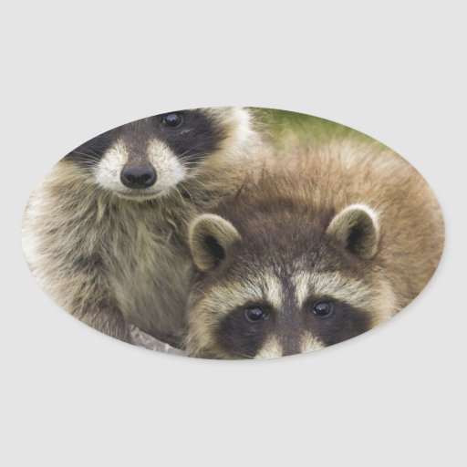 The Raccoon Couple Stickers