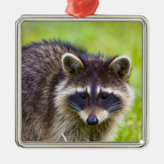 The raccoon, Procyon lotor, is a widespread, 2 Christmas Ornament