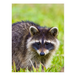 The raccoon, Procyon lotor, is a widespread, 2 Postcard
