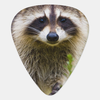 The raccoon, Procyon lotor, is a widespread, 3 Guitar Pick