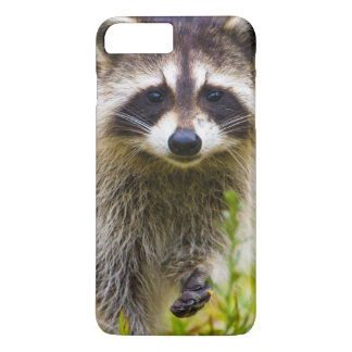 The raccoon, Procyon lotor, is a widespread, 3 iPhone 8 Plus/7 Plus Case