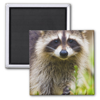 The raccoon, Procyon lotor, is a widespread, 3 Magnet
