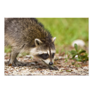 The raccoon, Procyon lotor, is a widespread, 4 Photo Print