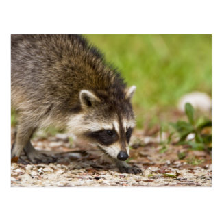 The raccoon, Procyon lotor, is a widespread, 4 Postcard