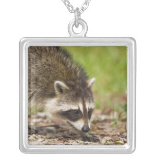 The raccoon, Procyon lotor, is a widespread, 4 Silver Plated Necklace