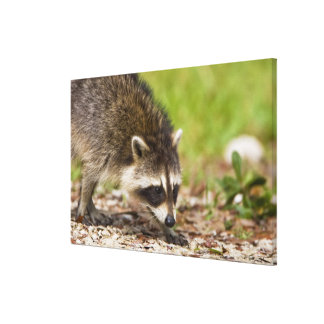The raccoon, Procyon lotor, is a widespread, Gallery Wrap Canvas