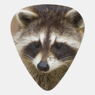 The raccoon, Procyon lotor, is a widespread, Guitar Pick