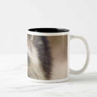 The raccoon, Procyon lotor, is a widespread, Two-Tone Coffee Mug