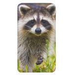 The racoon, Procyon lotor, is a widespread, 3